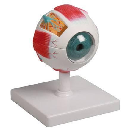 Göz Modeli - 6 Parça