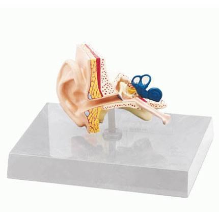 Kulak Modeli - Doğal Boyutunda